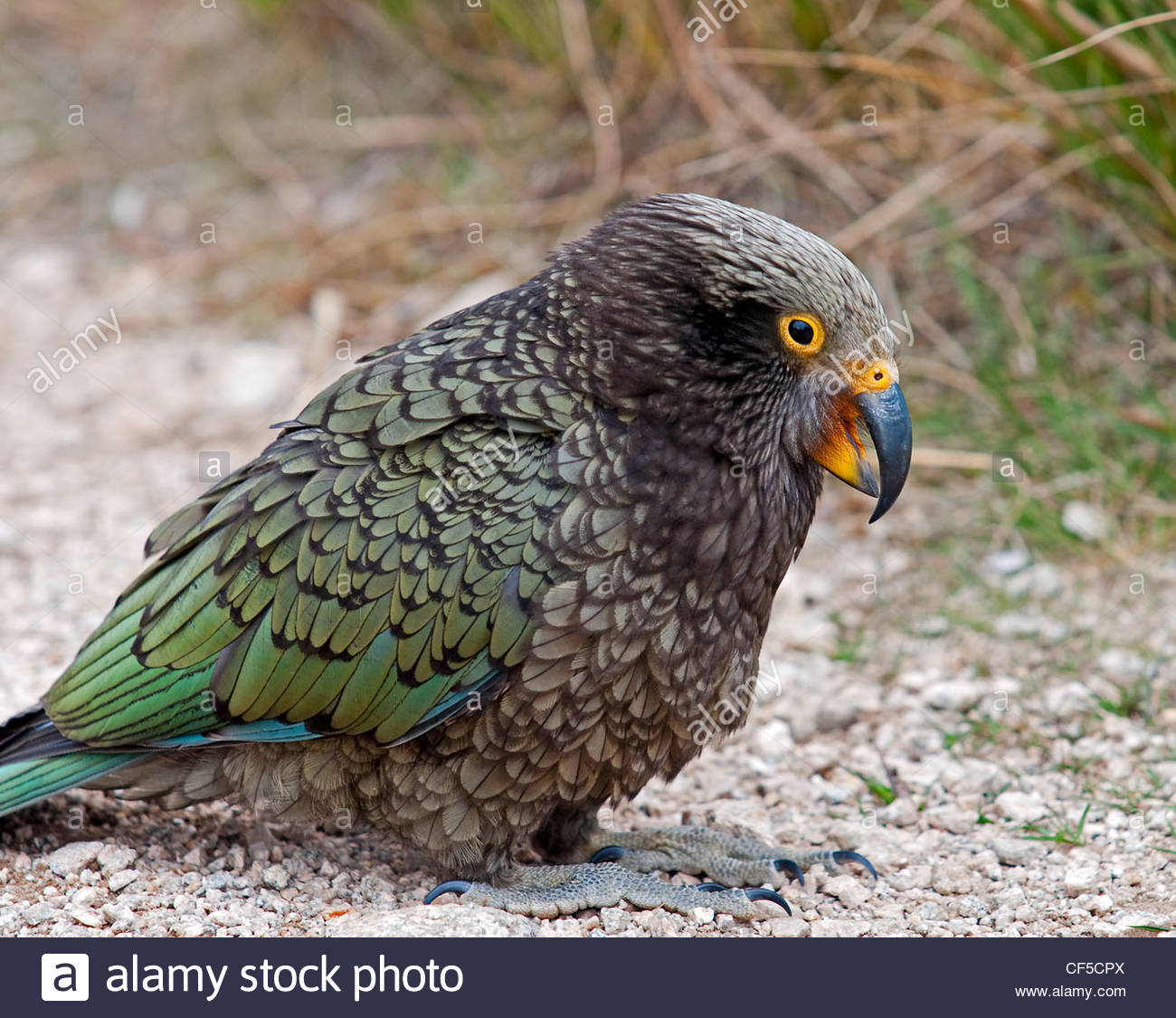 kea papagei finden sie in neuseeland stockfoto bild 43760386 alamy. Black Bedroom Furniture Sets. Home Design Ideas