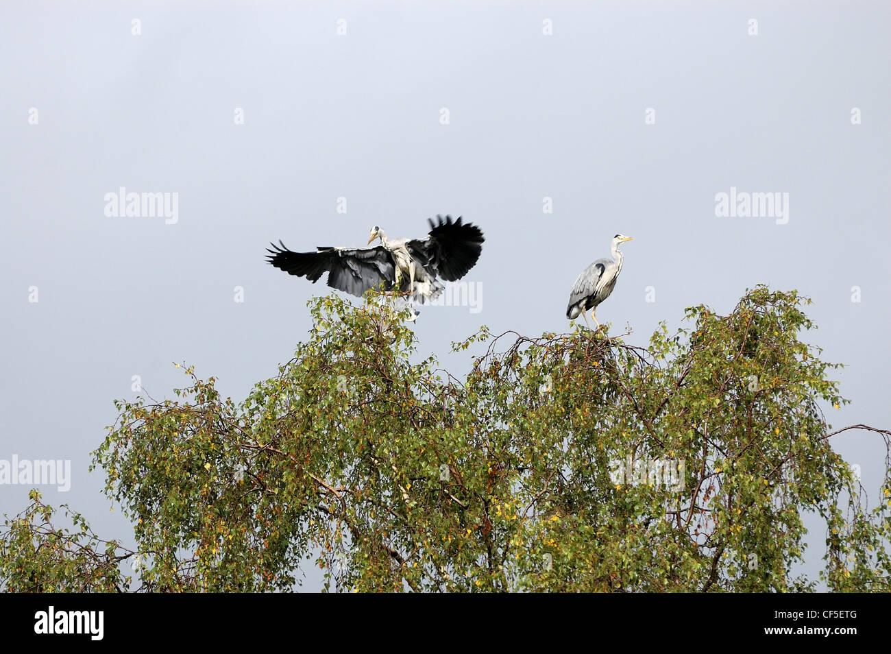Ein Reiher, Landung in Baumkronen der Muncaster Castle Stockbild