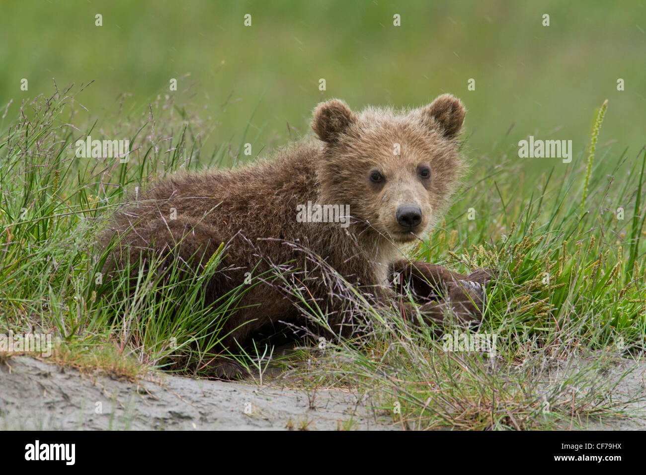 Alaskan brown Bear Cub im Gras liegend Stockbild