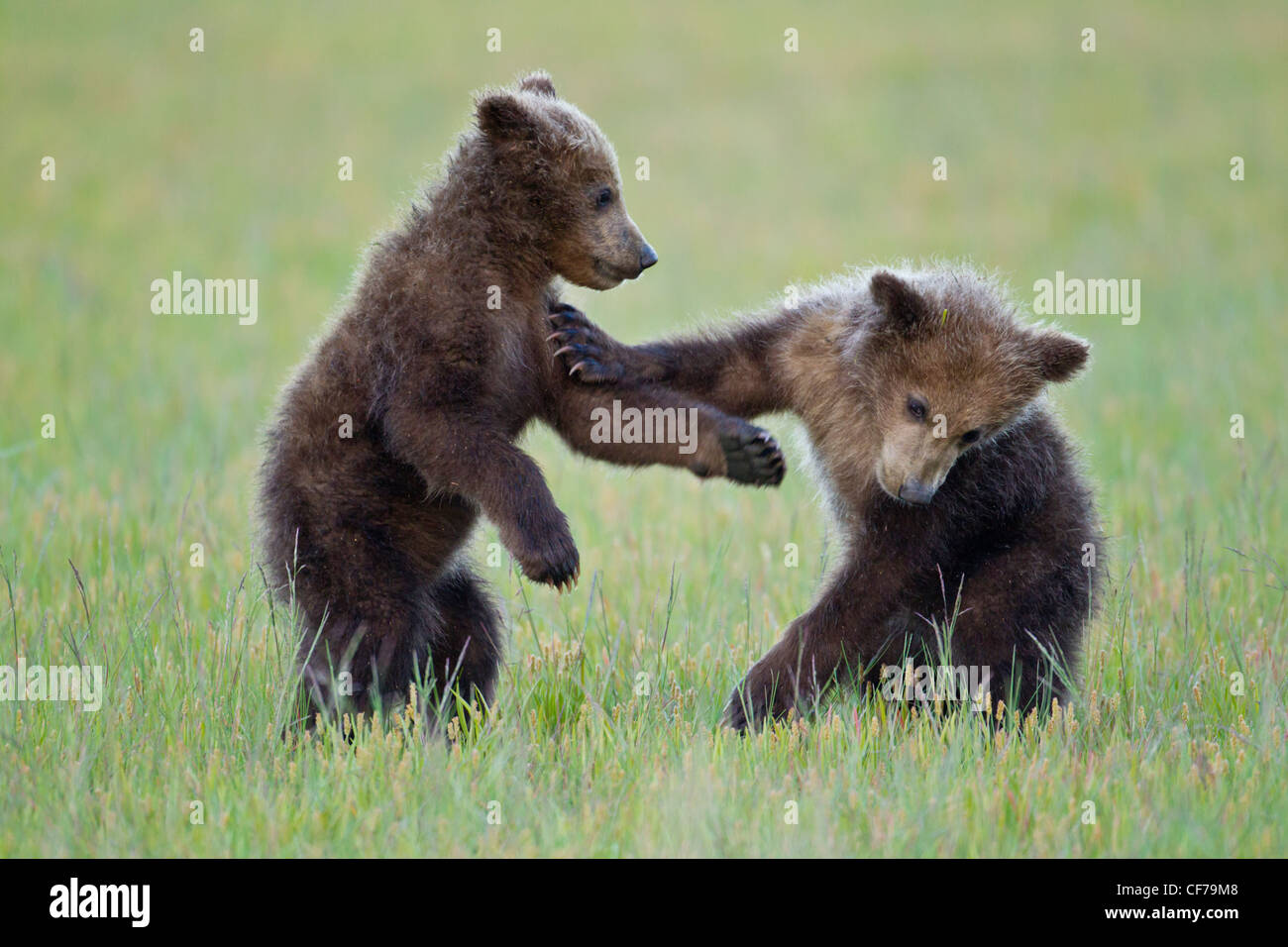 Alaskan Brown bear Cubs spielen Stockbild