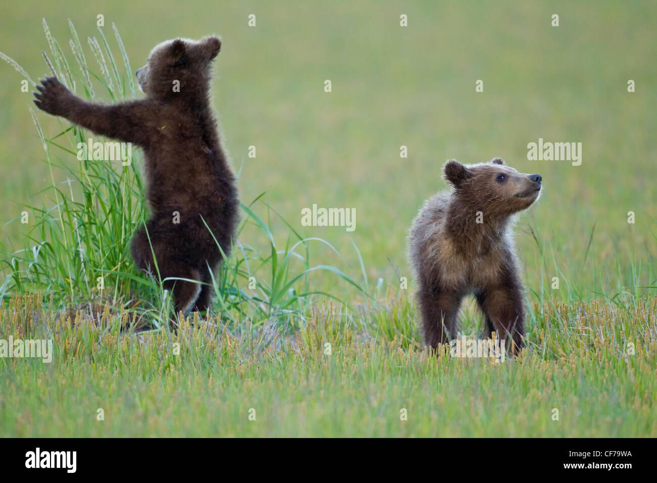 Alaskan Brown bear Cubs spielen Stockfoto
