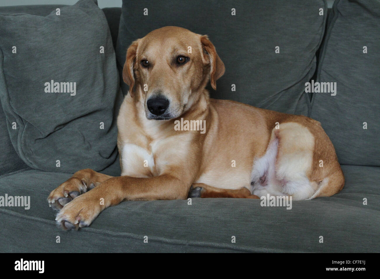 ein netter hund auf einer couch stockfoto bild 43805262 alamy. Black Bedroom Furniture Sets. Home Design Ideas