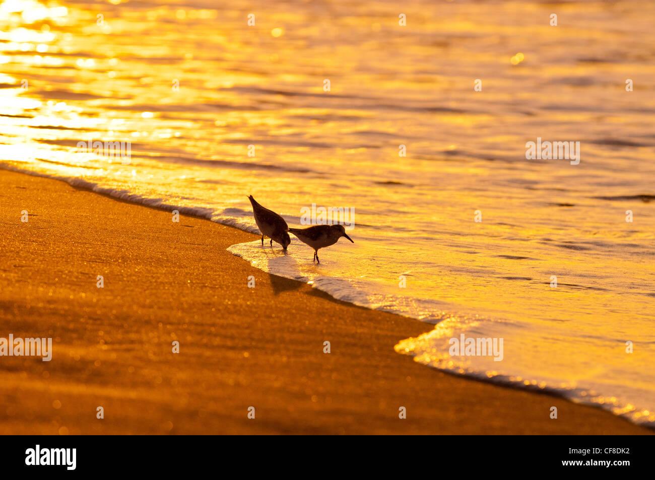 Sanderlinge-'Hunakai' in der hawaiianischen Sprache (Calidris Alba), Polihale Beach, Kauai, Hawaii Stockfoto