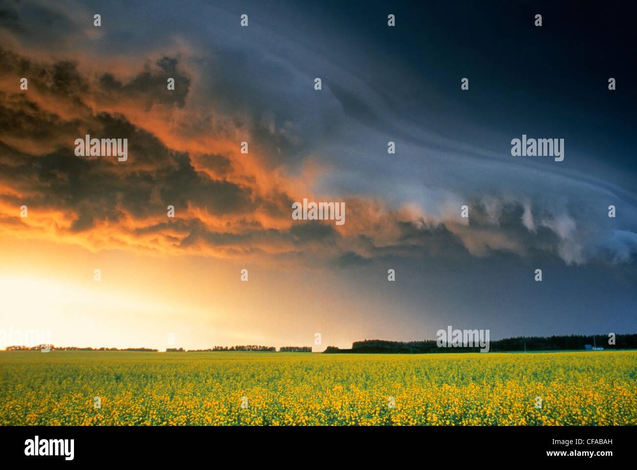 Raps und Gewitterwolken in der Nähe von Glenboro, Manitoba, Kanada. Stockbild
