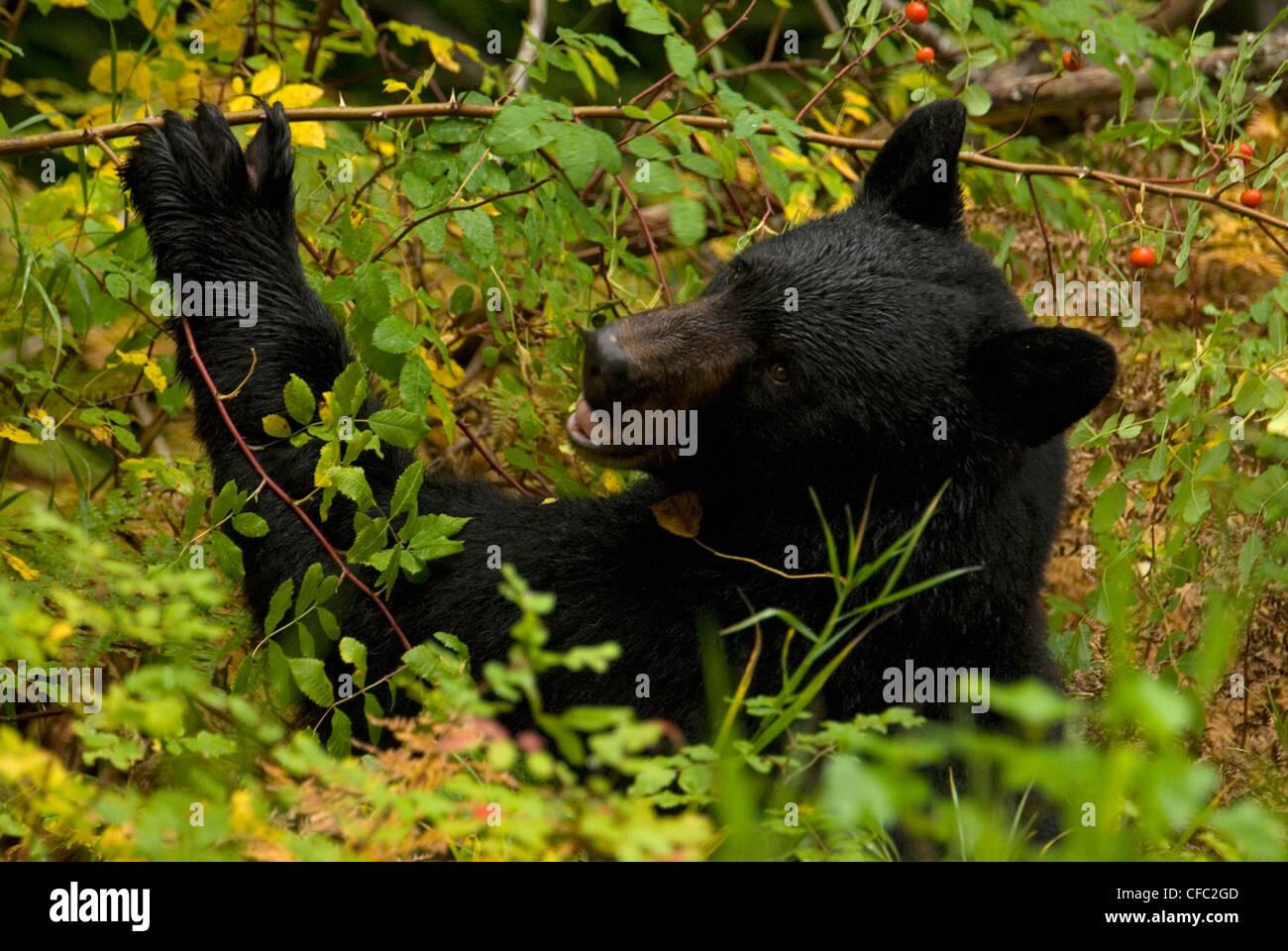 Ein schwarzer Bär frisst Hagebutten an einem regnerischen Tag in Bella Coola, Britisch-Kolumbien, Kanada Stockbild