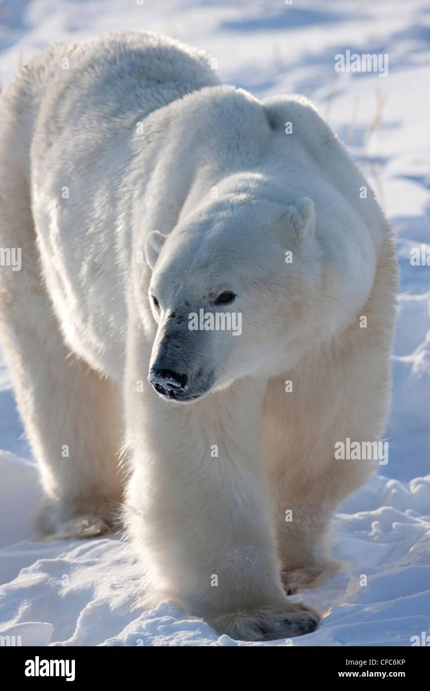 hinterleuchtete Ganzkörper Nahaufnahme Eisbär Ursus Stockbild