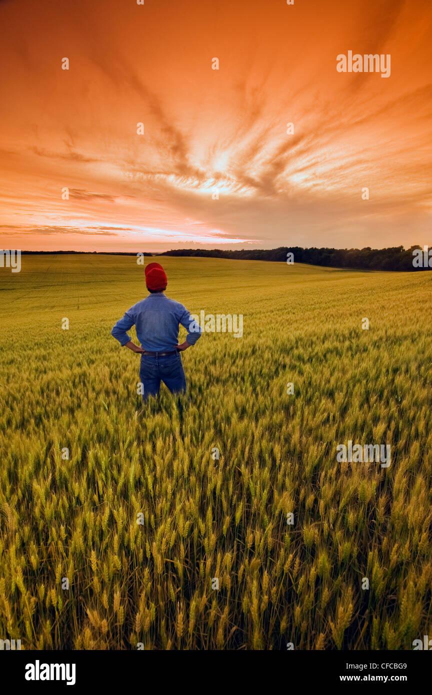 ein Mann blickt auf ein Feld der reifen Weizen, in der Nähe von Treherne, Manitoba, Kanada Stockfoto