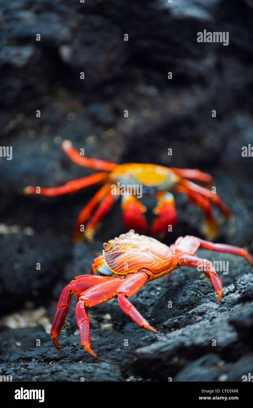 Sally Lightfoot Krabben (Grapsus Grapsus), Sullivan Bay, Isla Santiago, Galapagos-Inseln, UNESCO-Weltkulturerbe, Stockbild