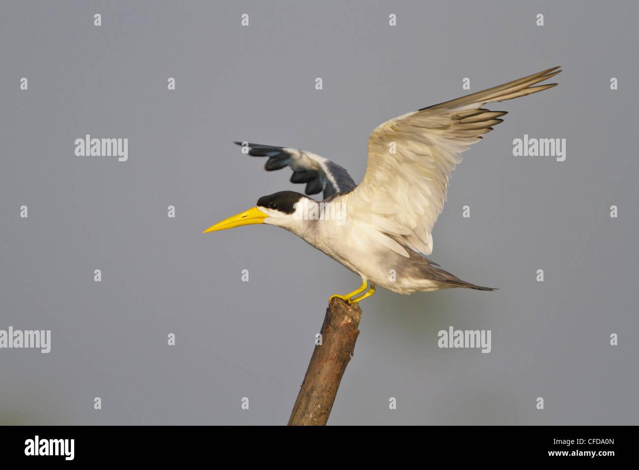 Large-billed Tern (Phaetusa Simplex) thront auf einem Ast in Ecuador. Stockbild