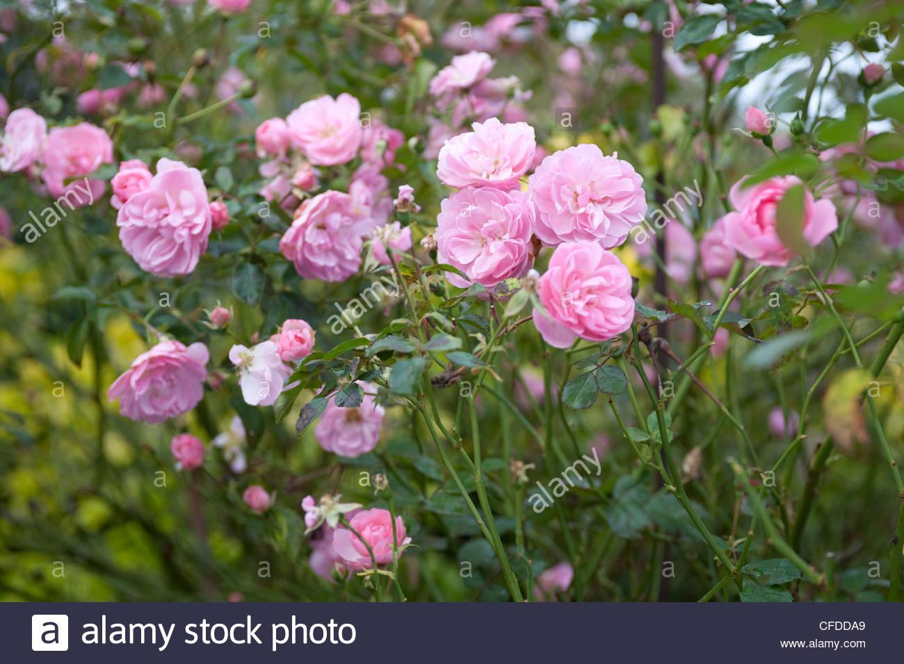 Rosa 'Bonica' (Strauchrose 'Bonica') Stockbild