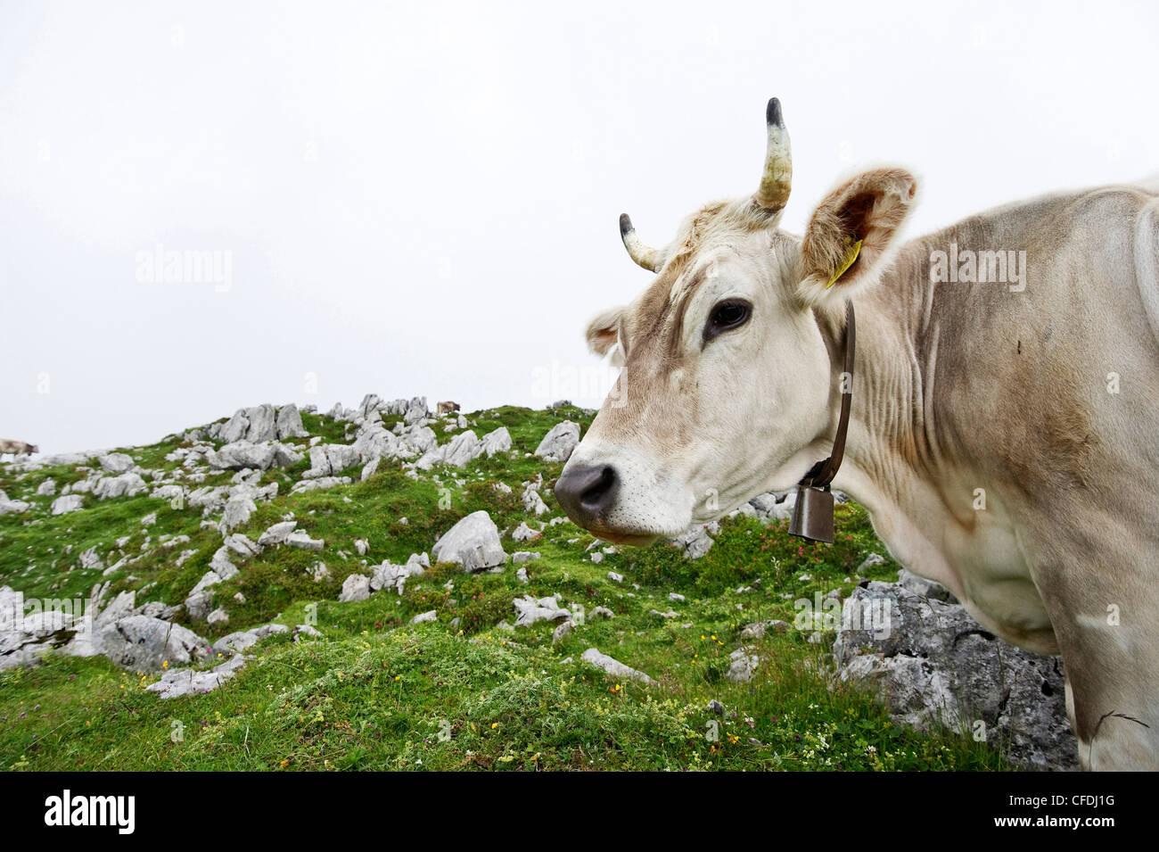 Kuh auf der Ebenalp, Alpsteingebirge, Säntis, Appenzeller Land, Schweiz, Europa Stockbild