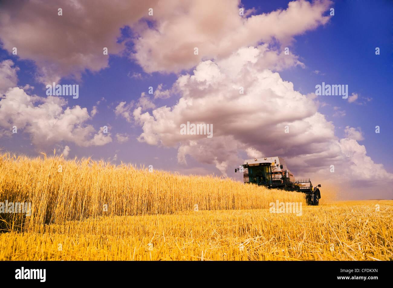 Ein Mähdrescher Harvester arbeitet in einem Feld von Winterweizen, Cumulonimbus Wolke sammeln sich in den Himmel, Stockbild