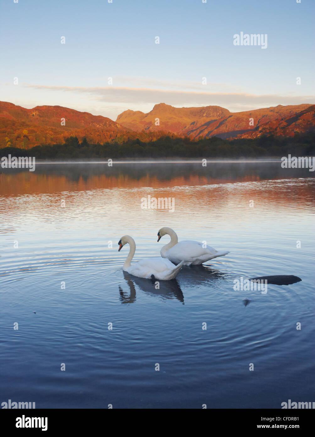 Ein Herbstmorgen mit Schwänen auf Elterwater, Nationalpark Lake District, Cumbria, England, Vereinigtes Königreich, Stockbild