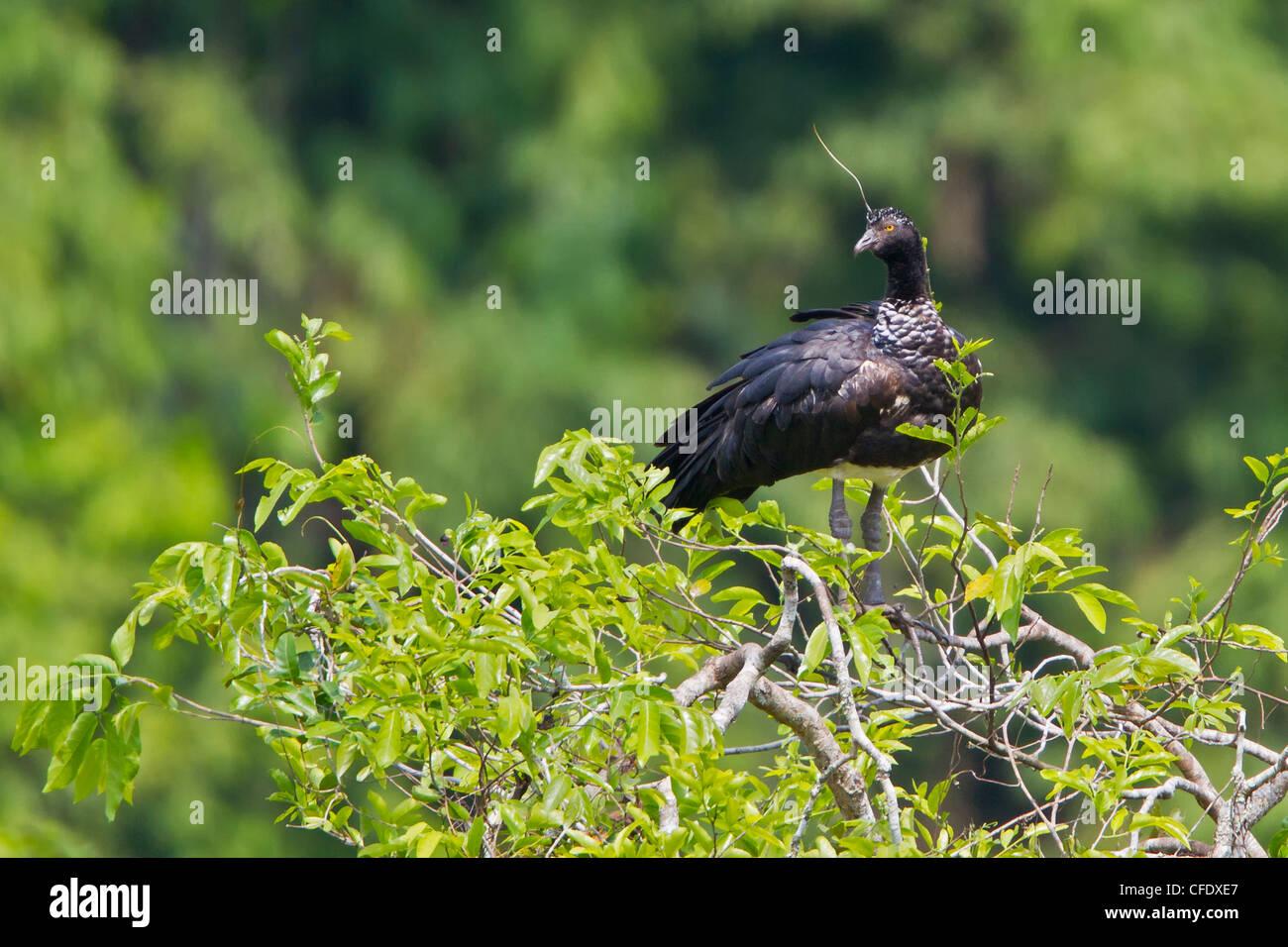 Gehörnte Screamer (Anhima Cornuta) thront auf einem Ast in Peru. Stockbild