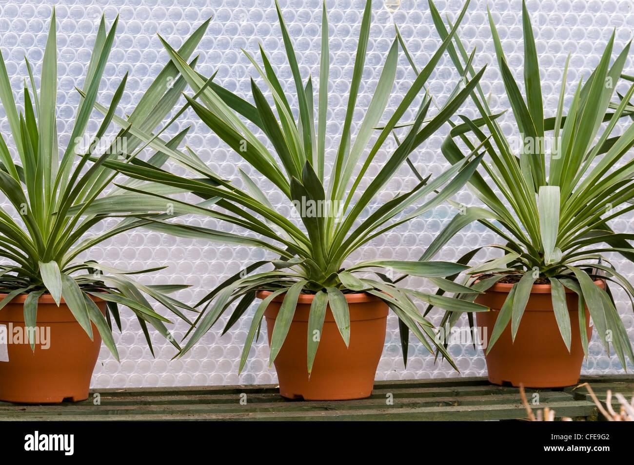Yucca Gloriosa Überwinterung im Gewächshaus vor der Kälte geschützt und isoliert mit Luftpolster Stockbild