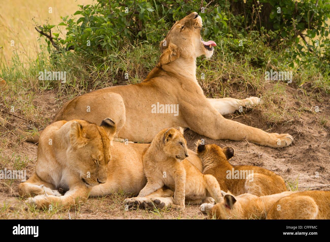 Löwen halten Sie ein Auge über die Masai Mara, Kenia Domäne. Stockbild