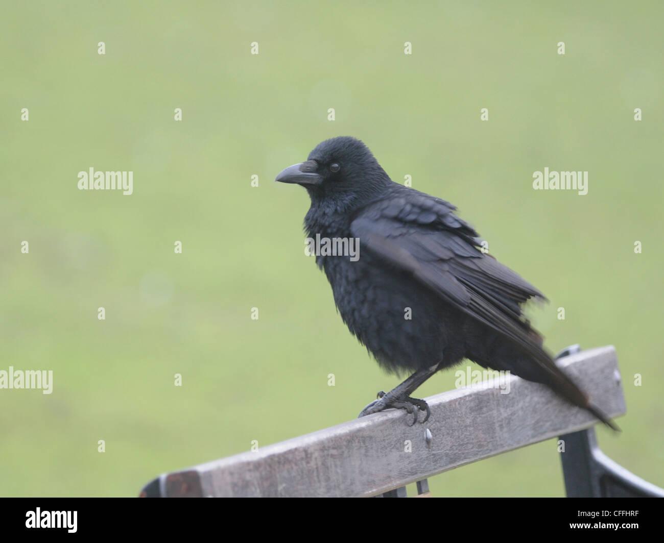 Eine AAS-Krähe (Corvus Corone) hocken auf der Rückseite einer Parkbank Stockbild