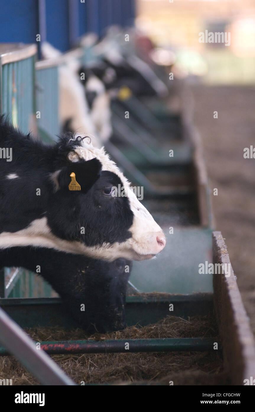 intensive Landwirtschaft Kuh Kühe Fleisch Produktion Landwirt Bauernhof Betriebe Rinder Stall Stände Trog Stockbild