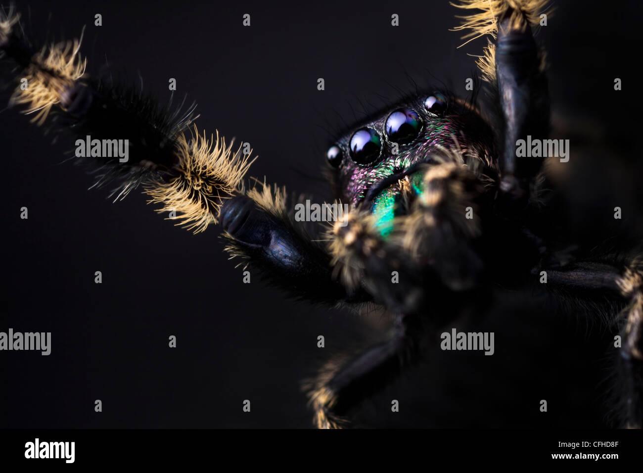 Baldachin Jumping Spider männlichen Gefangenen, aus Nordamerika stammende. Größe 1cm < Stockbild