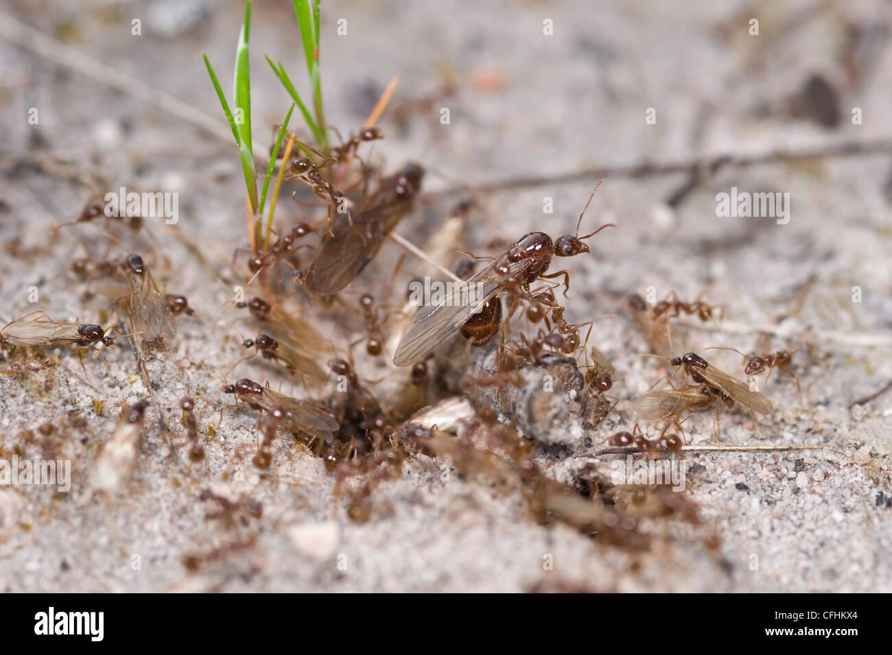 Geflügelte Ameisen aus Nest mit Hilfe von ArbeiterInnen fliegen Stockbild
