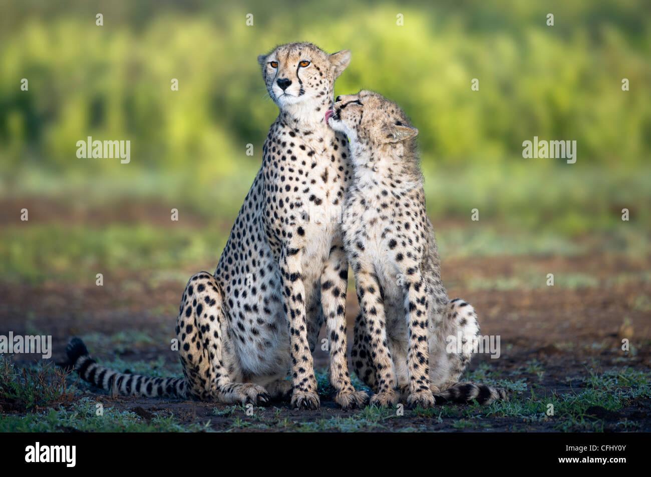 Erwachsene weibliche Cheetah mit Cub Ndutu, Ngorongoro, Tansania Stockbild
