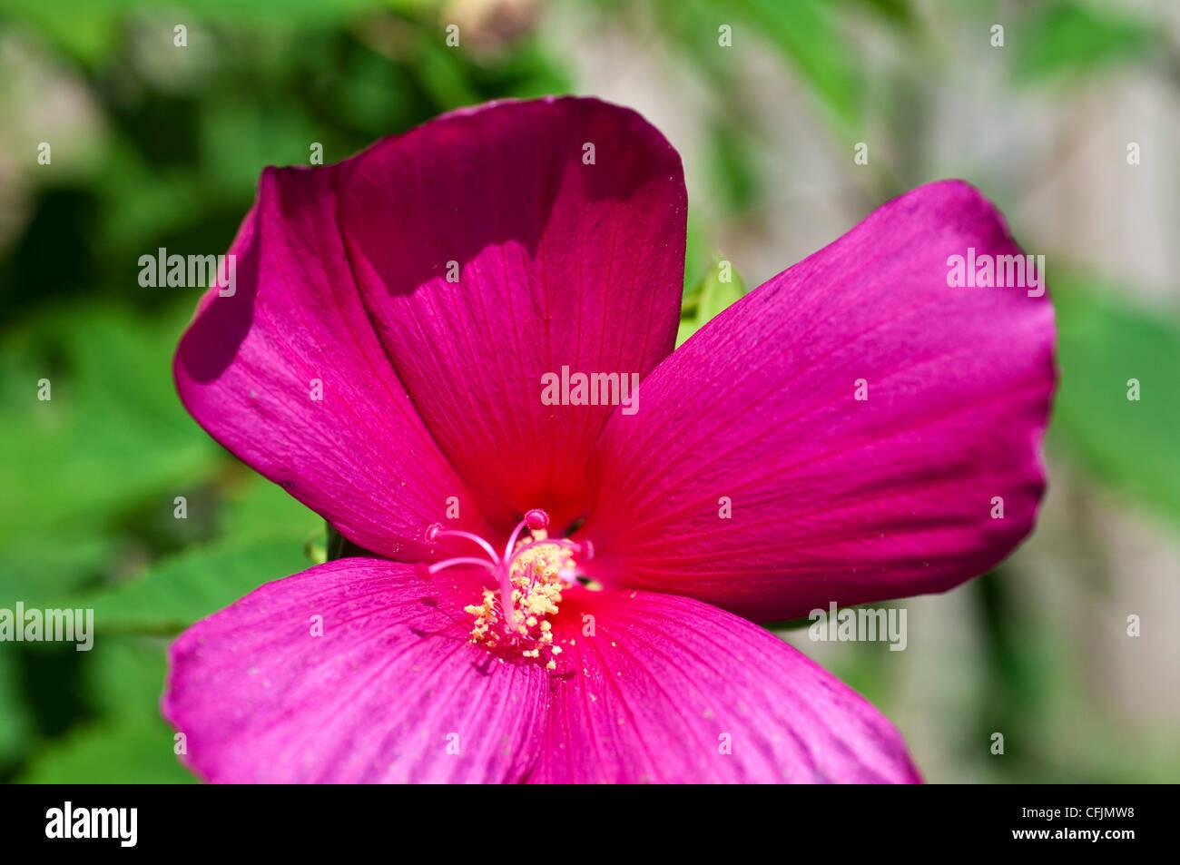 Rosa Violetten Blüten Von Hardy Malve Hibiscus Var Raspberry Rose