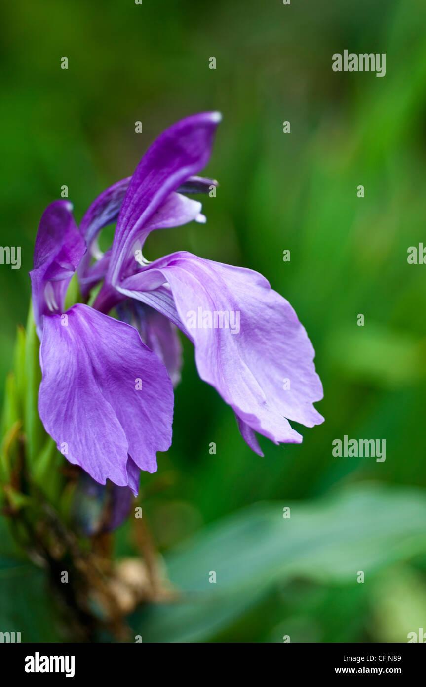 Mehrjährige krautige Pflanze von Roscoea Capitata mit blau lila violett Blume nah oben,, Zingiberaceae, Nepal Stockbild