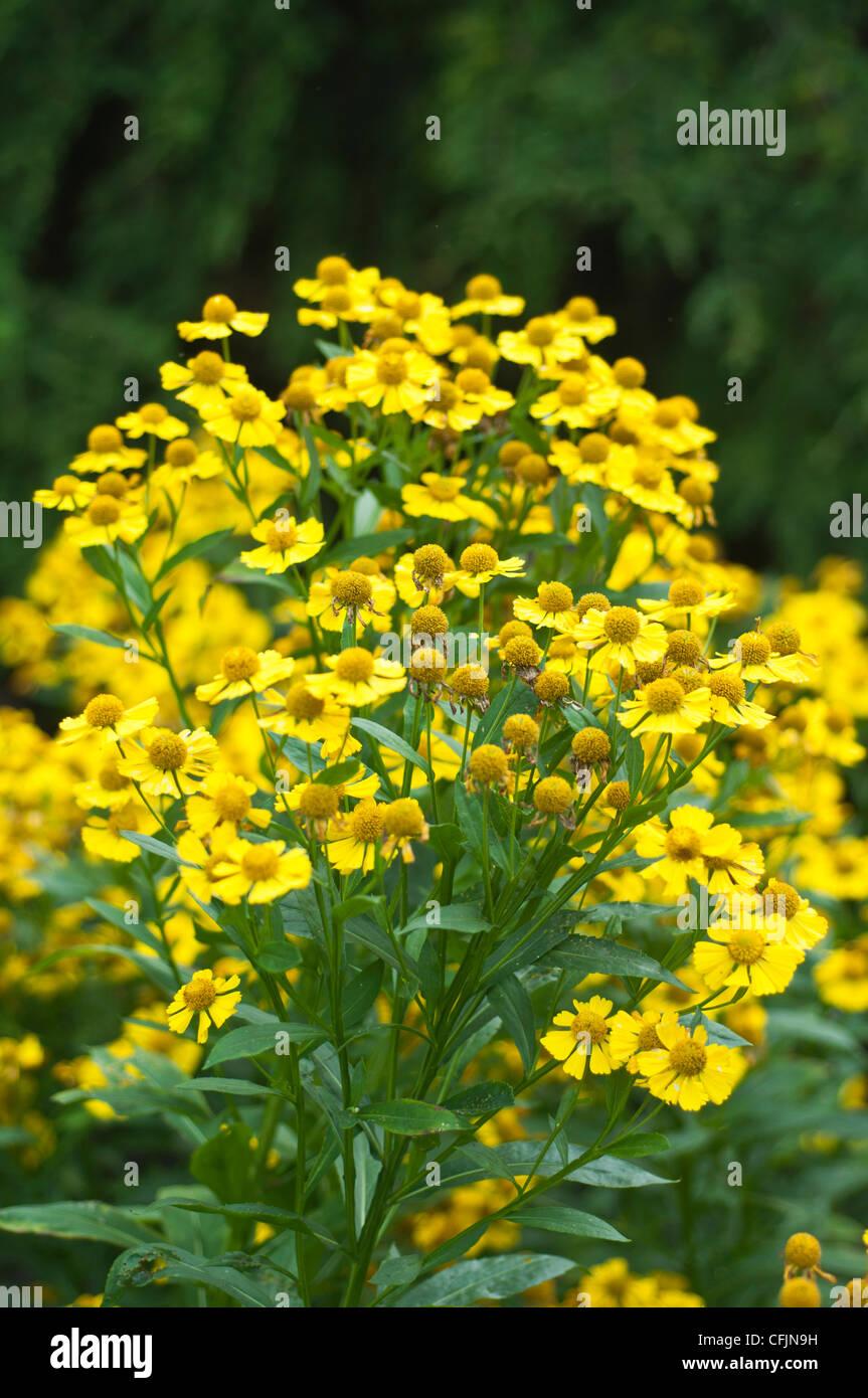 Viele gelbe Blüten von Helenium X Kanaria, Kanarischen Sneezeweed, Asteraceae Stockbild