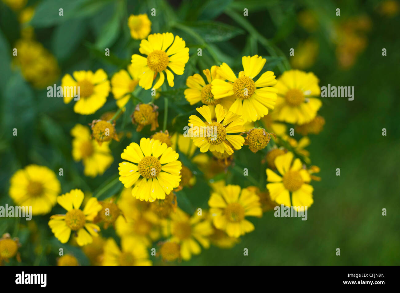 Gelben Blüten der Helenium X Kanaria, Kanarischen Sneezeweed,, Asteraceae Stockbild