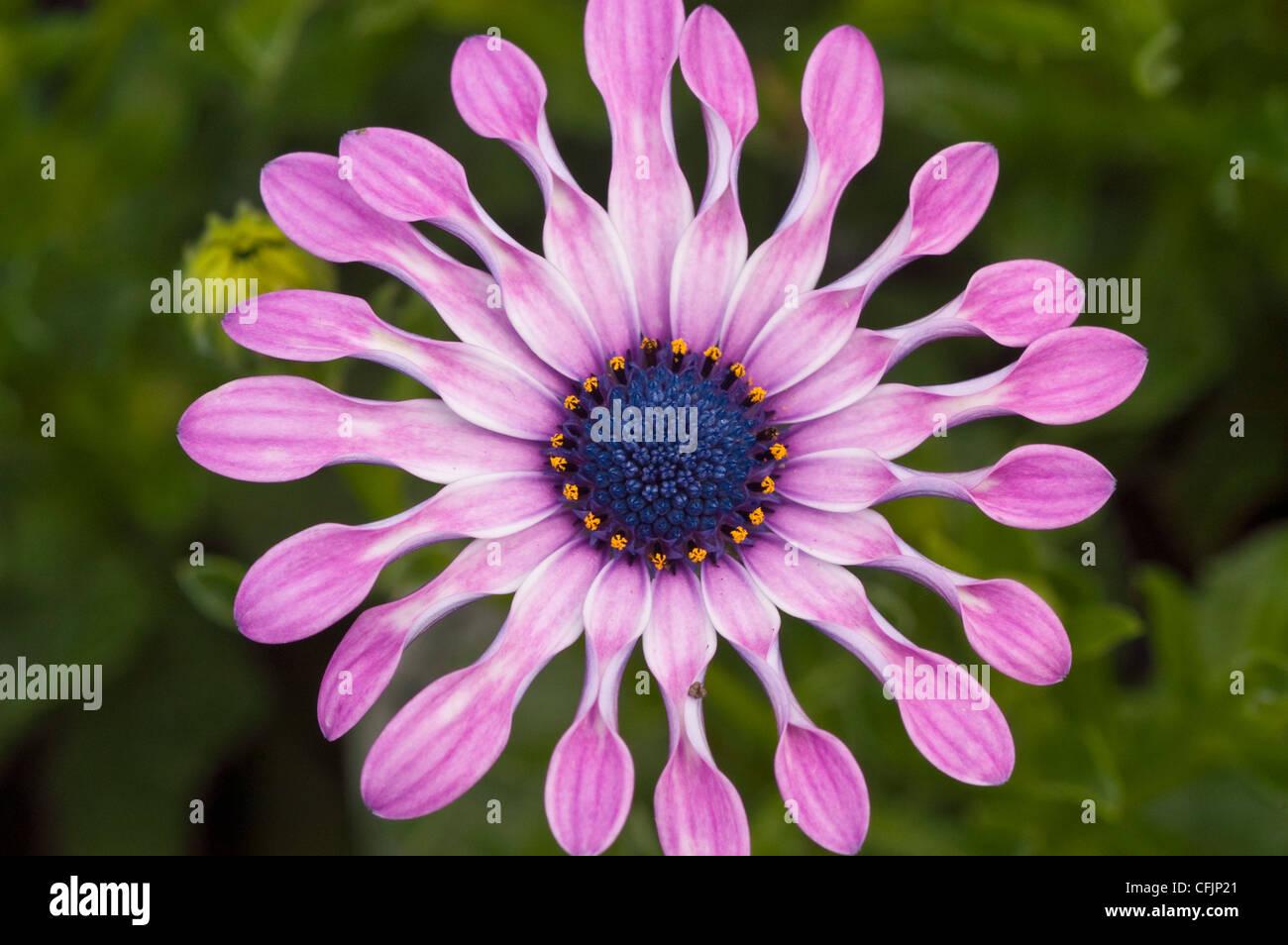 Rosa Blume Nahaufnahme von Osteospermum Hybride, Sopran® lila Löffel Stockfoto