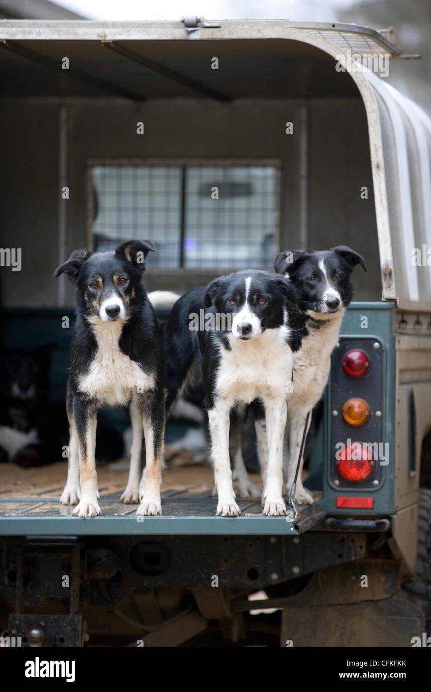 Arbeitende Schäferhunde auf der Rückseite einer Farm Land Rover Stockbild