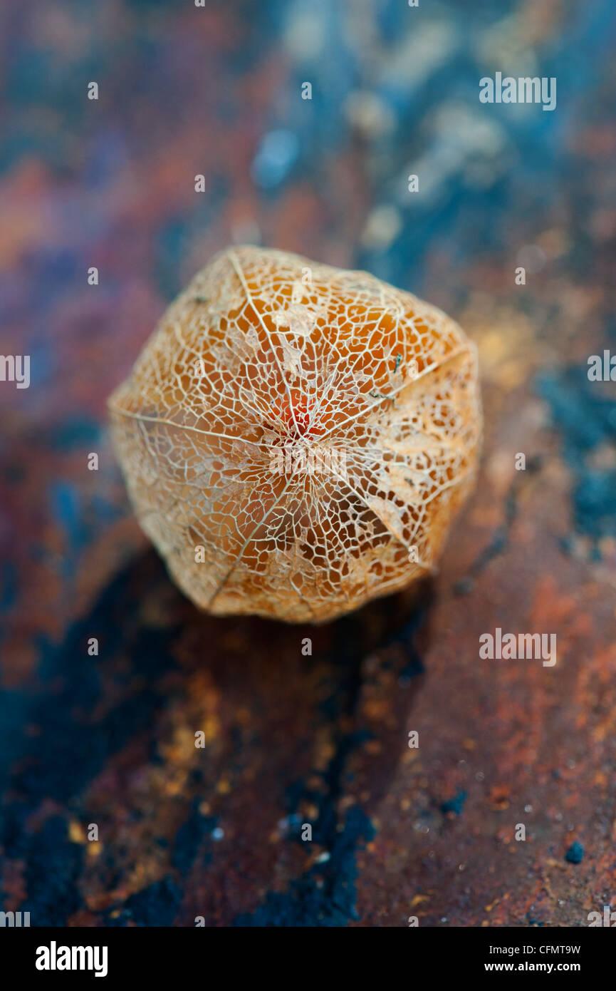 Physalis alkekengi Franchetii''. Chinesische Laterne Obst in morschem papery Schale auf schiefer Hintergrund Stockfoto