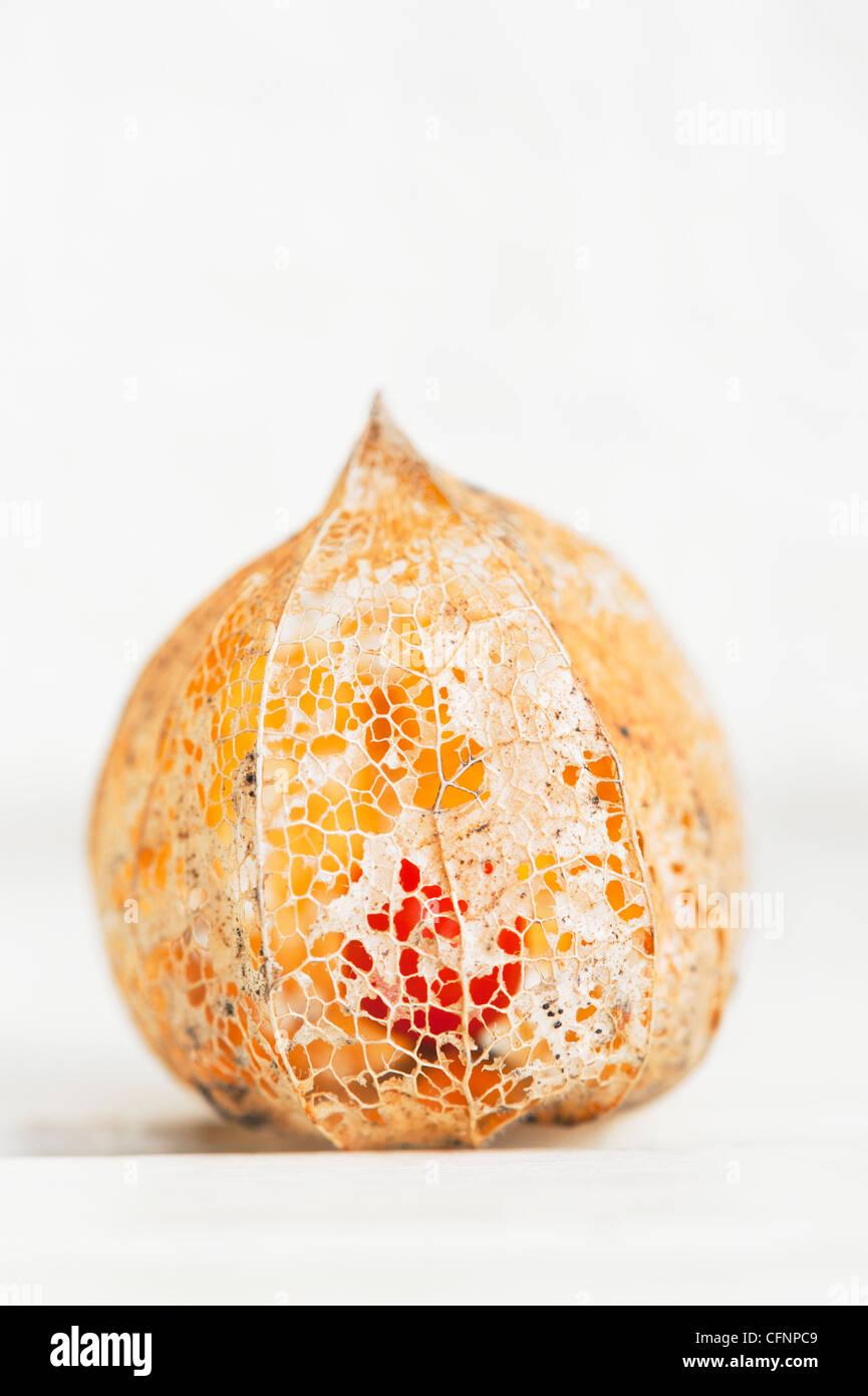 Physalis alkekengi Franchetii''. Chinesische Laterne Obst in morschem papery Schale gegen hellen Hintergrund Stockbild