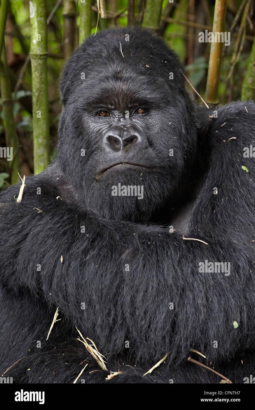 Silberrücken Berggorillas (Gorilla Gorilla Beringei) der Kwitonda Gruppe, Volcanoes-Nationalpark, Ruanda, Afrika Stockbild