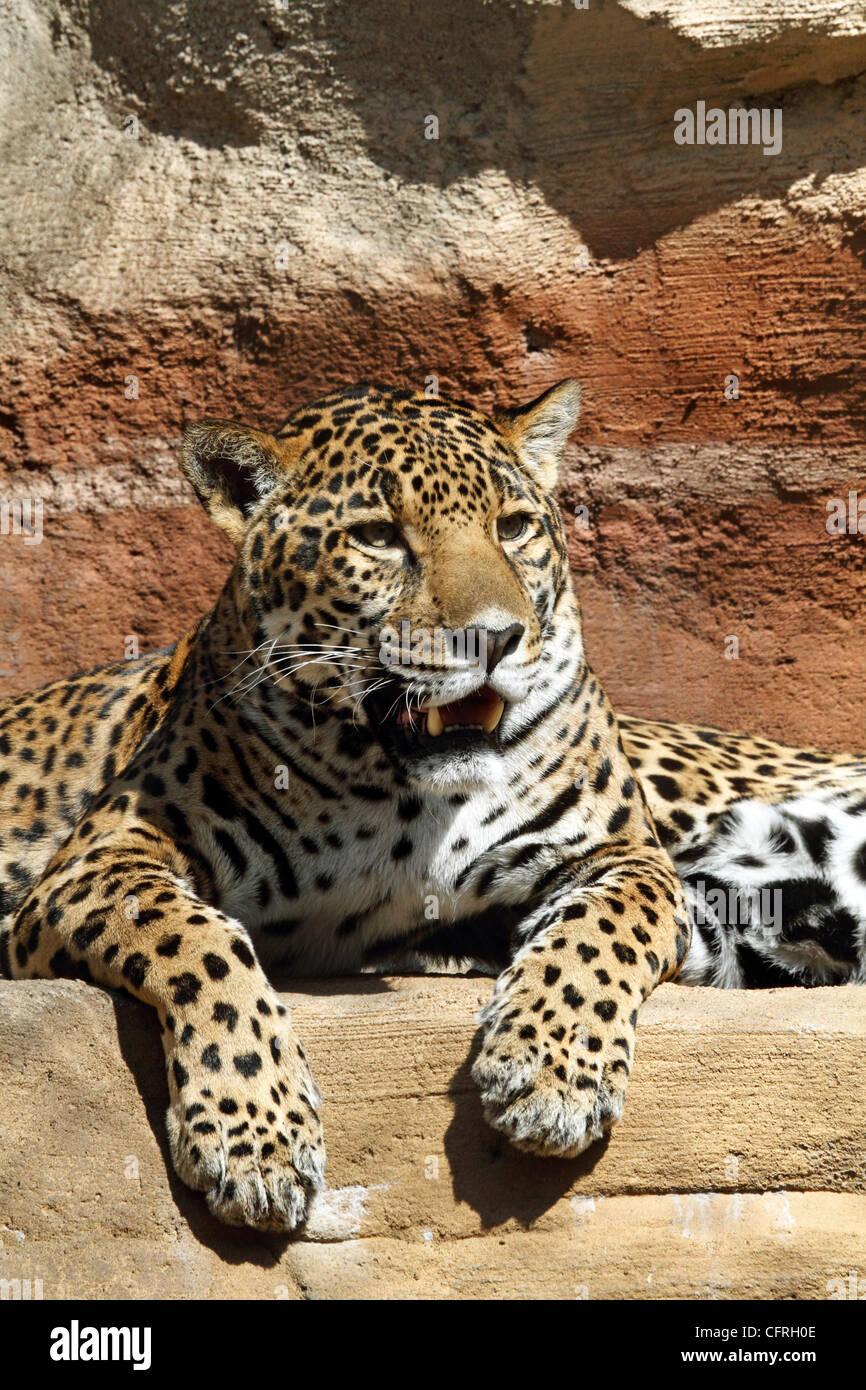 Ein Jaguar, Panthera Onca, Verlegung auf einem Überhang. Turtleback Zoo, West Orange, New Jersey. Stockbild
