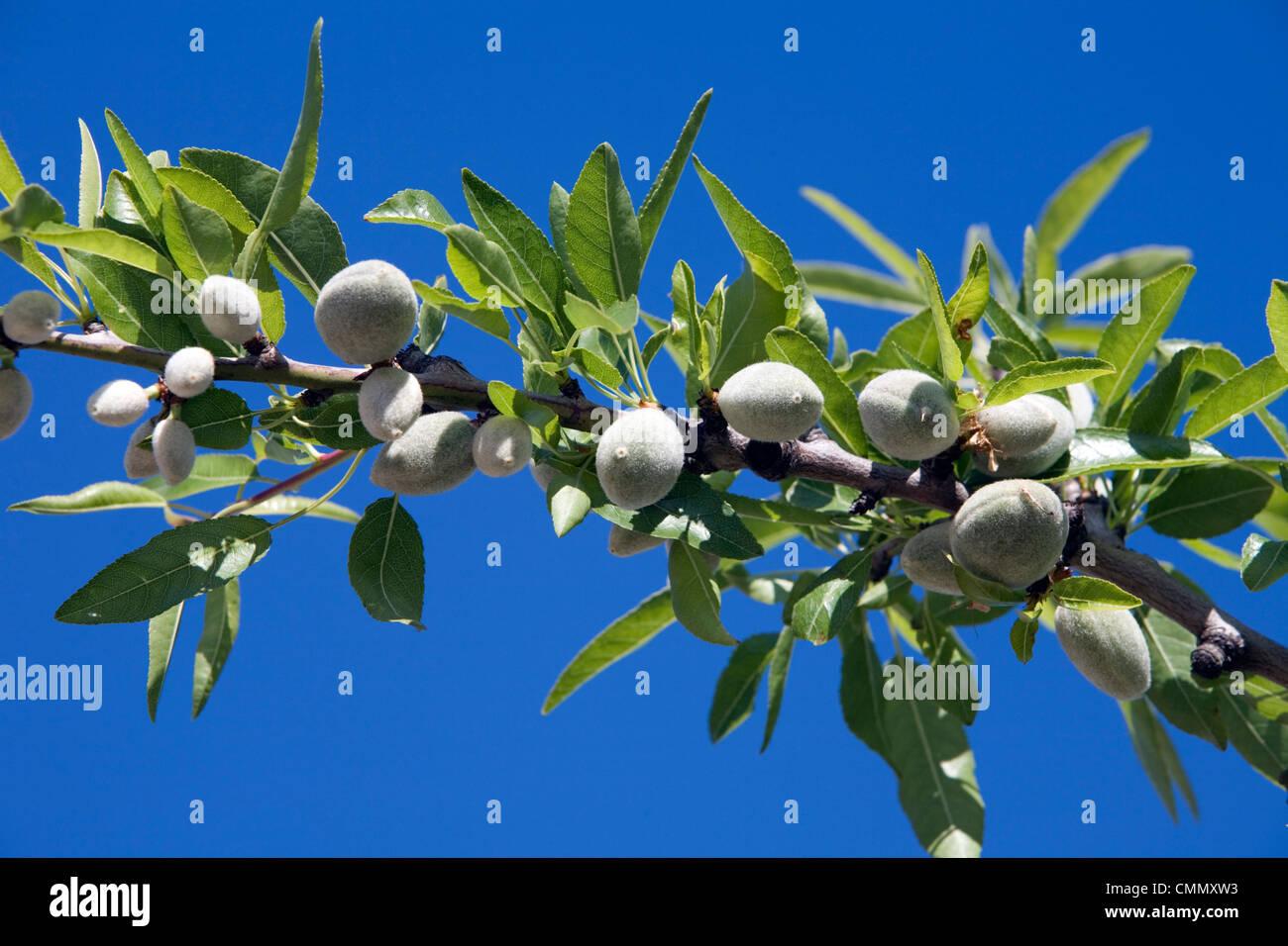 Mandeln auf Zweig, Sizilien, Italien, Europa Stockbild