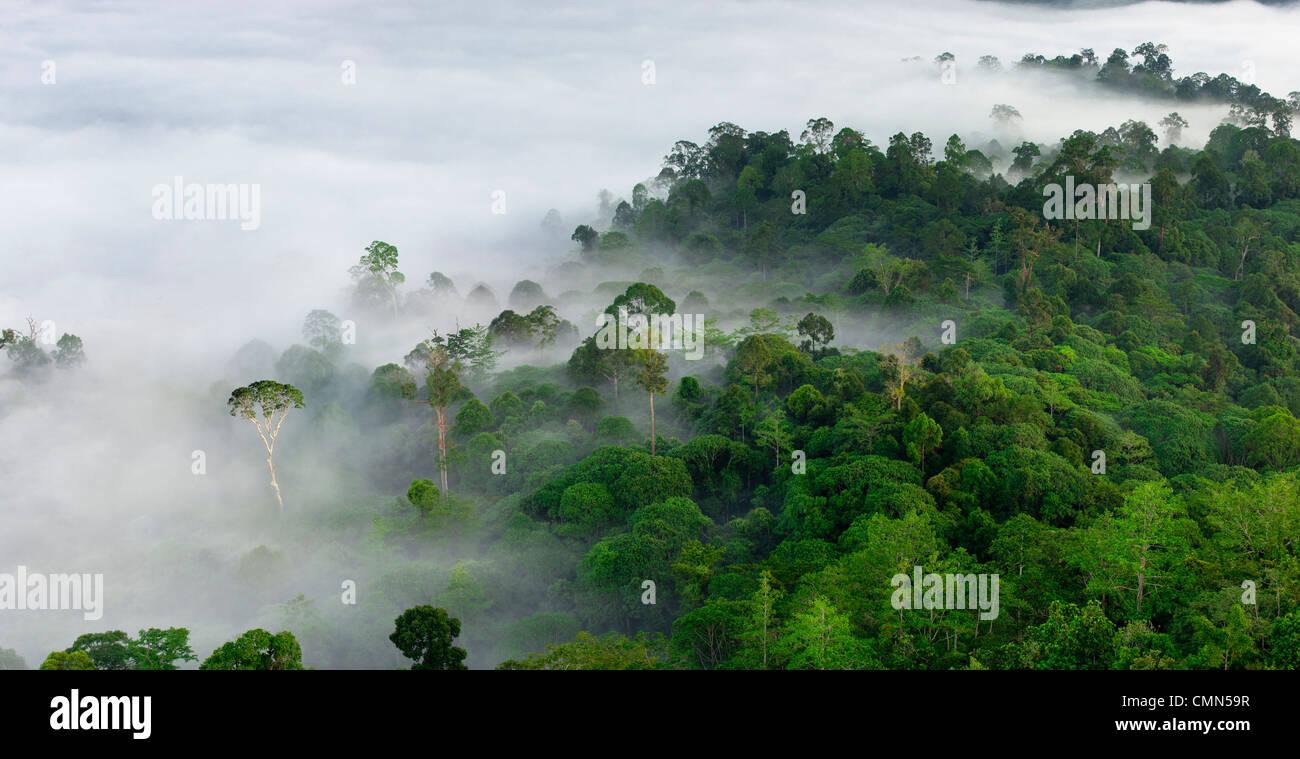 Nebel und niedrige Wolken hängen über Dipterocarp Tieflandregenwald mit emergent Menggaris Baum sichtbar. Stockbild