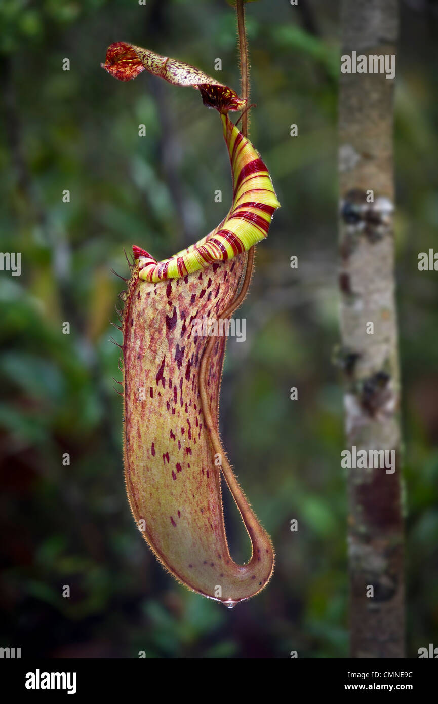 Große Antenne Krug mit natürlichen Hybriden Kannenpflanze. Montane moosigen Heide Wald oder 'Kerangas', Stockbild