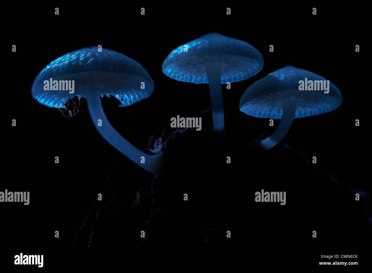 Leuchtende Pilze bei Mondschein mit kleinen Spinne ruht auf Unterseite. Montane moosigen Heide Wald (Kerangas), Stockbild