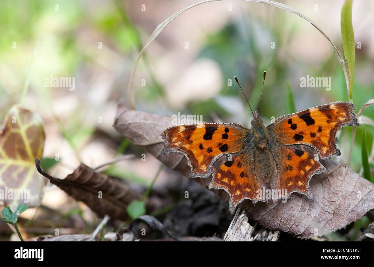 Polygonia c-Album. Komma-Schmetterling in der englischen Landschaft Stockbild