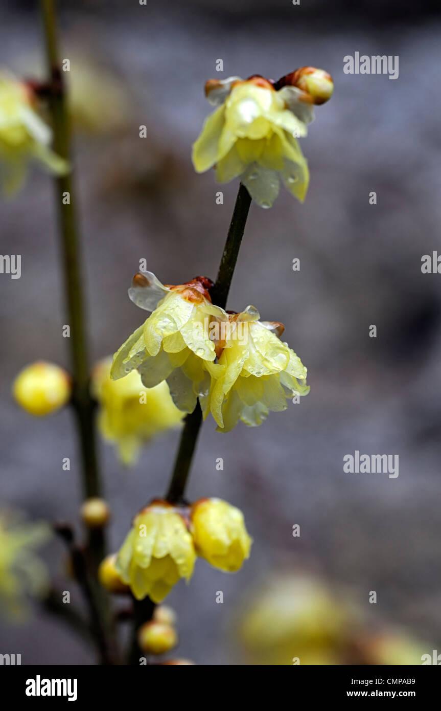 Chimonanthus praecox stockfotos chimonanthus praecox - Duftende gartenpflanze ...