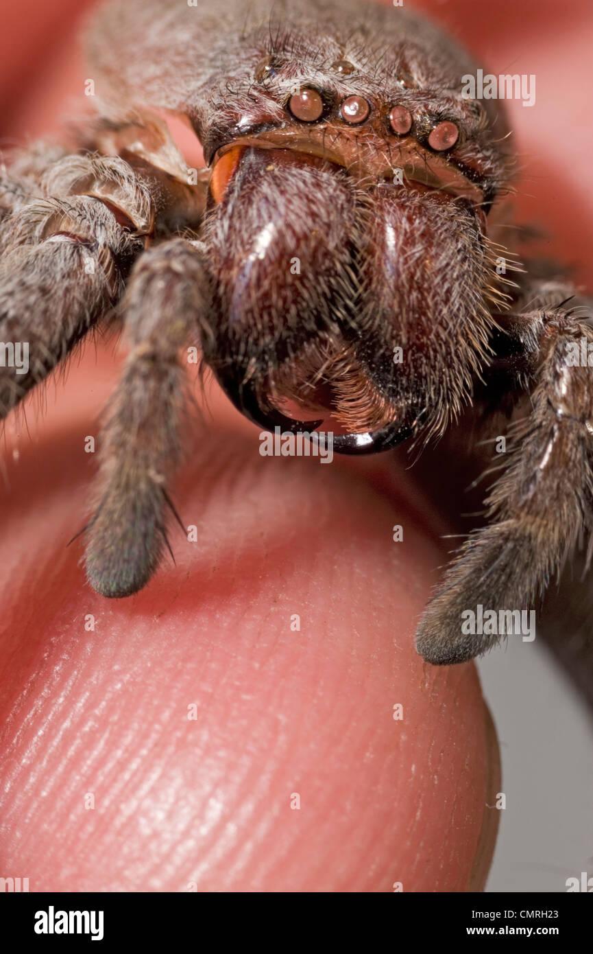 Gruselige Spinne Nahaufnahme? Nein, es ist eine Besetzung von Spinne Haut Stockbild