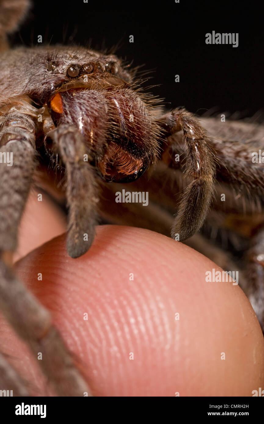 Gruselige Spinne Nahaufnahme? Nein, es ist eine Besetzung von Haut Stockbild