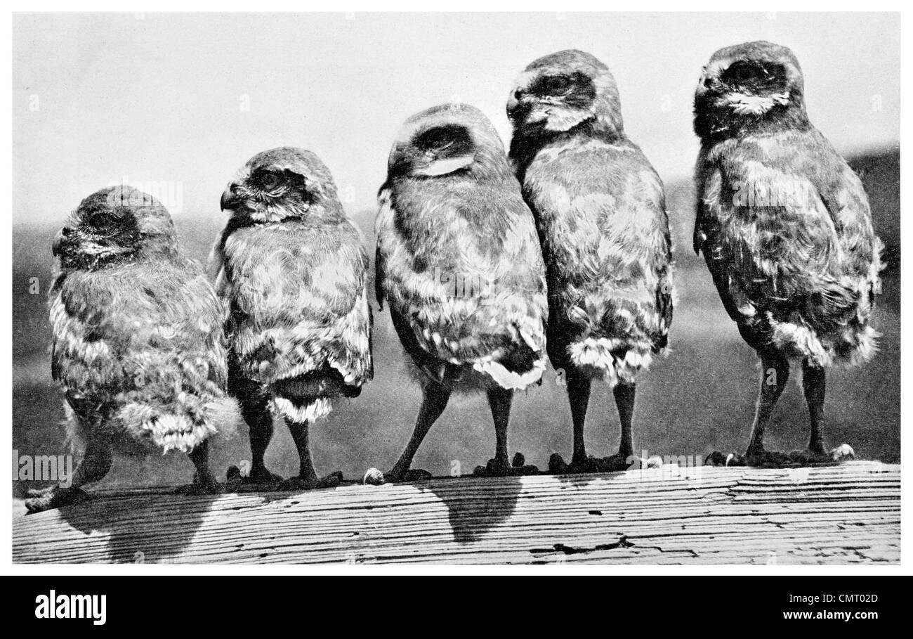 1923 Kanincheneule Athene Cunicularia Küken Stockbild