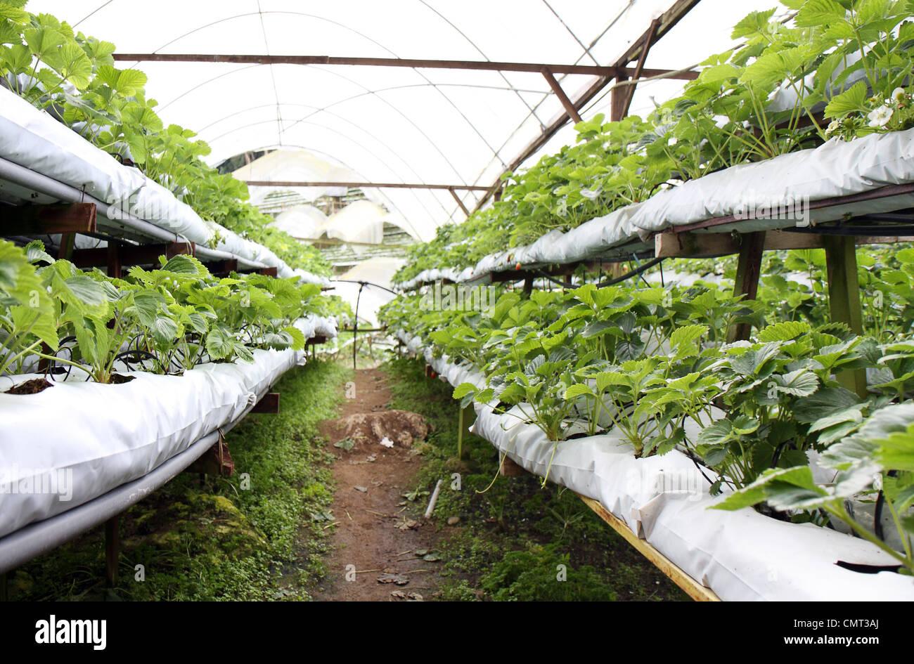 Zeilen und Stapel von Erdbeerpflanzen in einem Gewächshaus auf der Erdbeerfarm. Stockbild