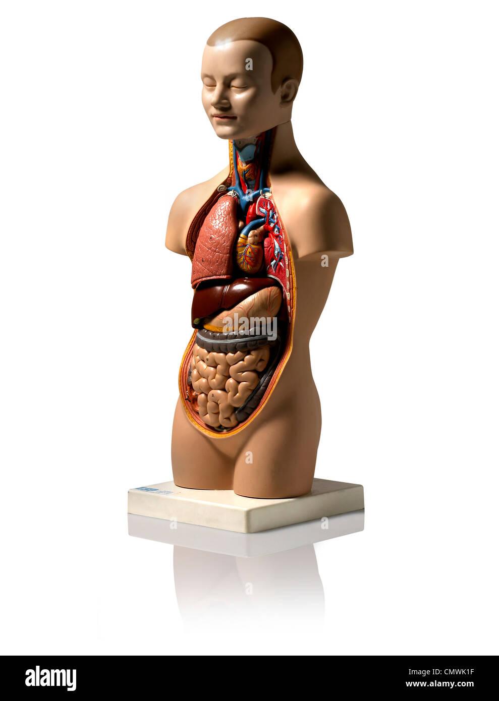 Beste Menschliche Anatomie Modelle Ideen - Anatomie Ideen - finotti.info
