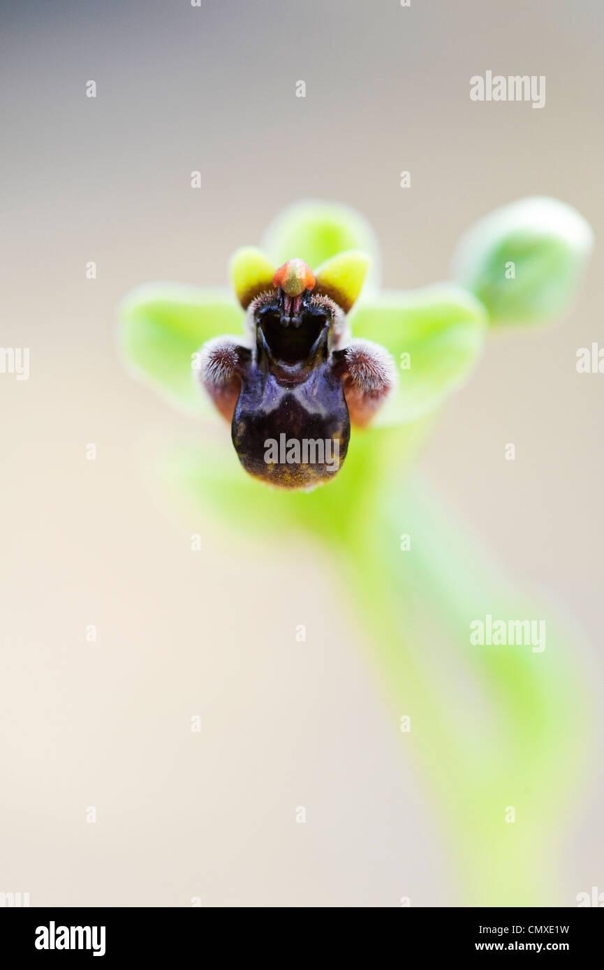 Ophrys Bombyliflora. Hummel-Orchidee Stockbild