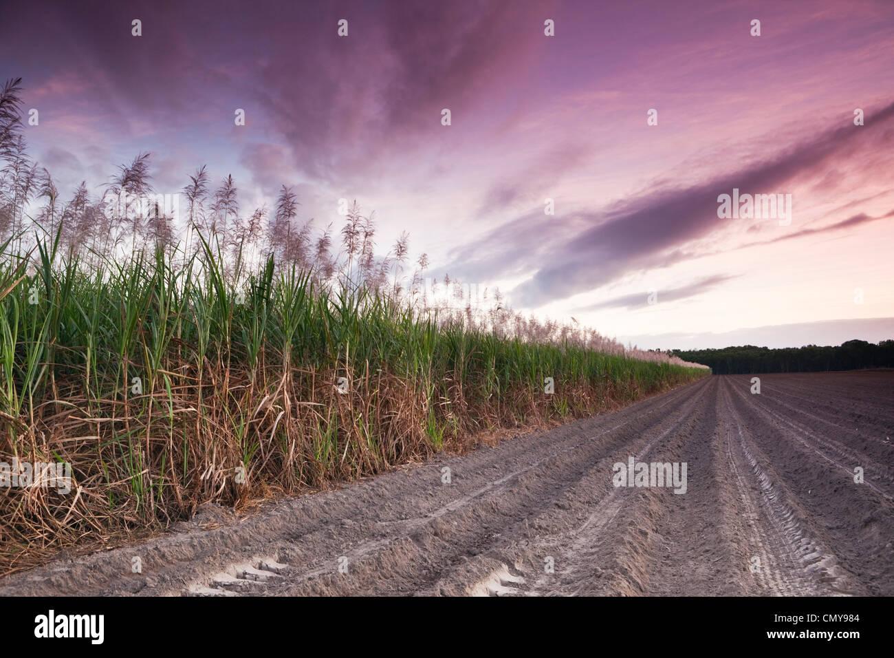Zuckerrohr-Feld in der Dämmerung.  Mossman, Queensland, Australien Stockbild