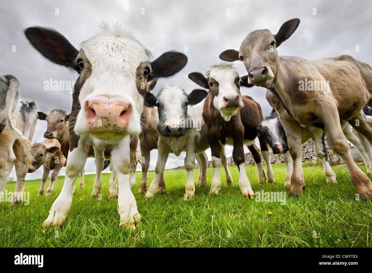 Neugierige Kühe in Feld nahe dem Dorf von Litton. Peak District National Park, Derbyshire, UK. Mai. Stockbild