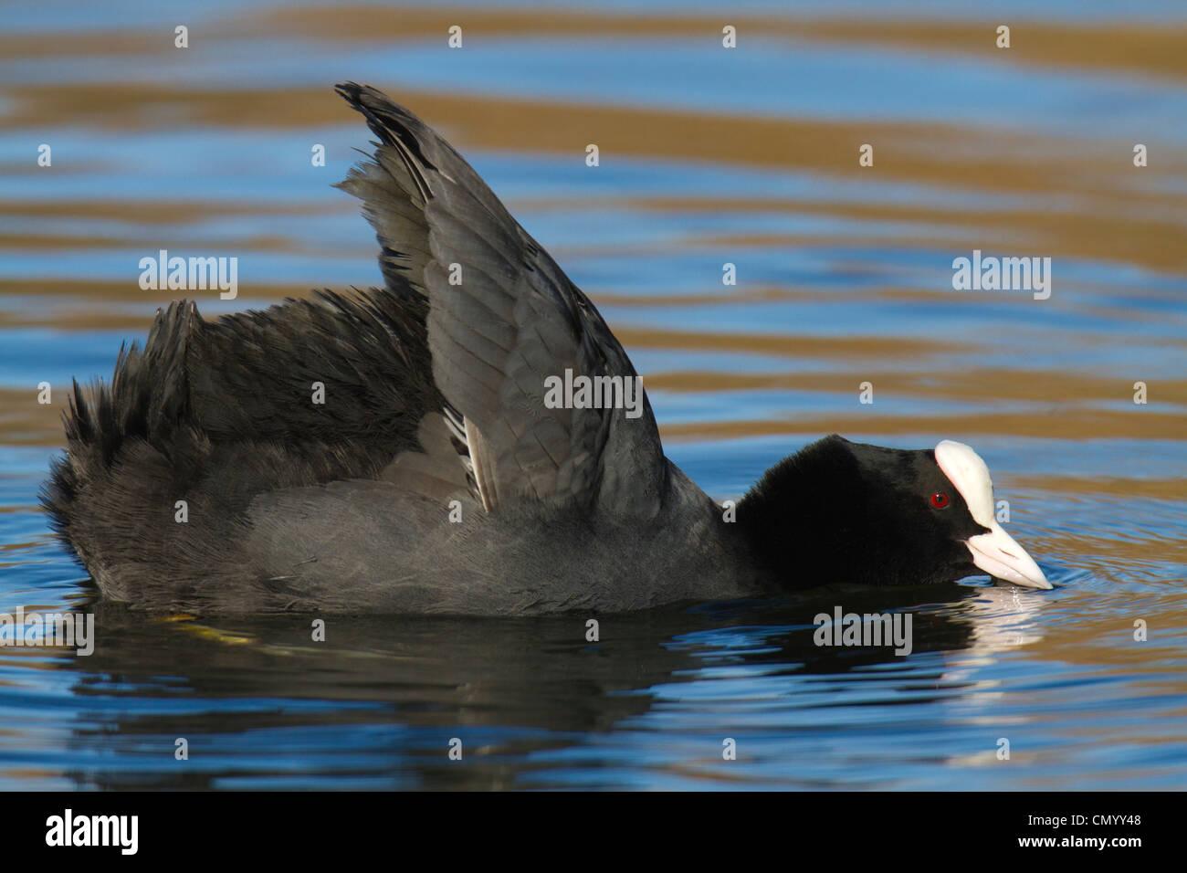 Eurasische Blässhuhn (Fulica Atra) mit Flügeln, aufgewachsen in Gefahr-Anzeige Stockbild